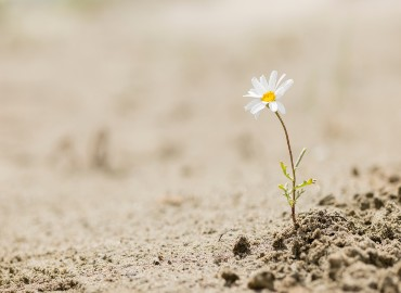 A photo of dry ground with a single daisy growing
